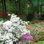 Many of the shrubs in the collection sprang from the azalea breeding work of former Arboretum Director Benjamin Y. Morrison.