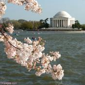 Jefferson Memorial During Peak Bloomimg Period 2011