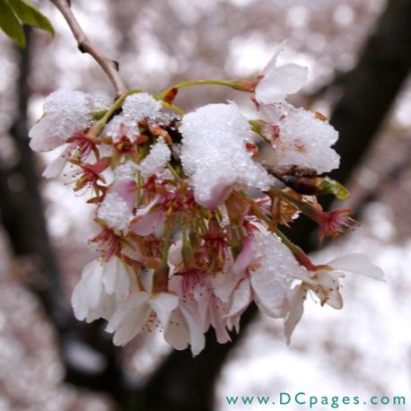 Snow Dusts Spring Blossoms
