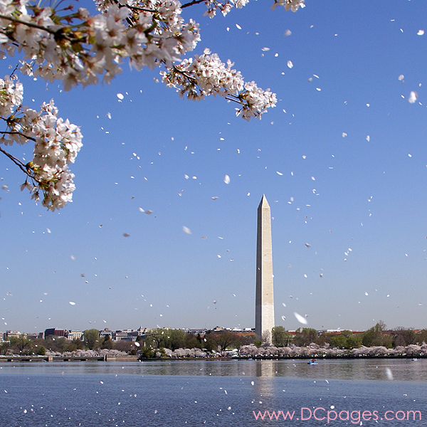 Tuesday, 11:05 am EST, April 3, 2007, Cherry blossom flurries on the Tidal Basin. Light winds are brushing flower petals off the trees.