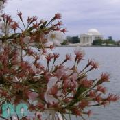 Wednesday, 10:00 am EST, April 13, 2005, Cherry Blossom View of the Jefferson Memorial. Chilly. Flower petals have dropped. Cherry red stamens are exposed.