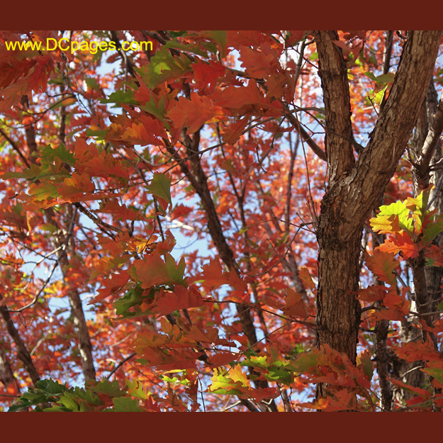 Autumn leaves of a Northern Red Oak living near the Thomas Jefferson Memorial. Fall weather conditions favoring formation of brilliant red autumn color are warm sunny days followed by cool, nights with temperatures below 45o F.
