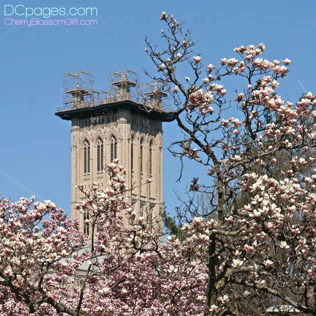 Saucer Magnolias blooms surround damaged National Cathedral