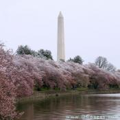 Snow covered cherry trees around the tidal basin. George Washington Monument is in the background.