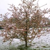 Crab Apple tree covered in snow.