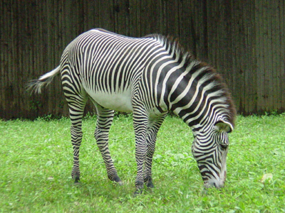The National Zoo has two Grevy's Zebras