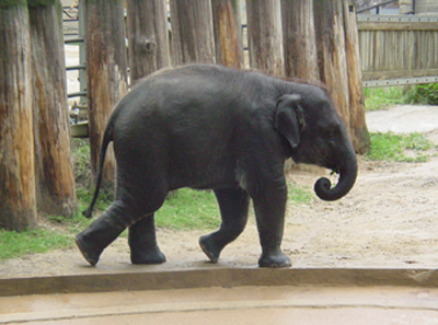 This is Kandula, a 2 1/2 year old baby asian elephant