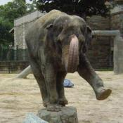Asian elephants weigh up to 11,000lbs.