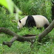 Only about 1,000 giant pandas survive in the mountain forests of central China.