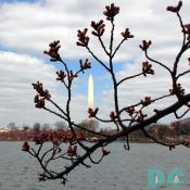 Thursday, 9:45 am EST, March 23, 2006, Cherry Blossom View of the Washington Monument. Scattered Clouds. Florets Visible
