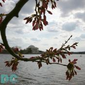 Sunday, 3:00 pm EST, March 26, 2006, Cherry Blossom View of the Jefferson Memorial. Cloudy. Peduncle elongation of florets.